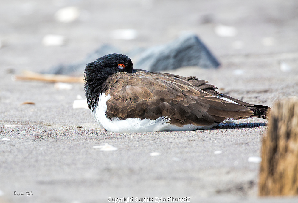 American Oystercatcher at Peace