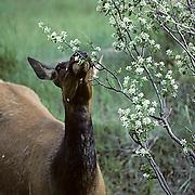Elk, (Cervus elaphus) cow browsing on flowering berry bush. Early summer.
