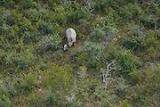 White Rhinoceros (Ceratotherium simum) Mother & calf<br /> Private Game Reserve<br /> SOUTH AFRICA<br /> RANGE: Southern & East Africa<br /> ENDANGERED SPECIES