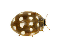 crean spot ladybird<br /> Calvia 14 guttata