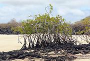 A Red Mangrove (Rhizophora mangle) tree grows from an outcrop of black lava in a white sand beach. Playa Ochoa, San Cristobal, Galapagos, Ecuador.