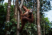 An adult orang-utan climbs a tree on Salat Island pre-release site, run by the Borneo Orangutan Survival Foundation BOSF, in Central Kalimantan, Borneo, Indonesia on 27th May 2017. In this last stage of rehabilitation, the animals are observed as they learn how to forage for their own food and live independently. The island was established in partnership between BOSF and PT SSMS, a local palm oil company, who are both members of the Roundtable on Sustainable Palm Oil.