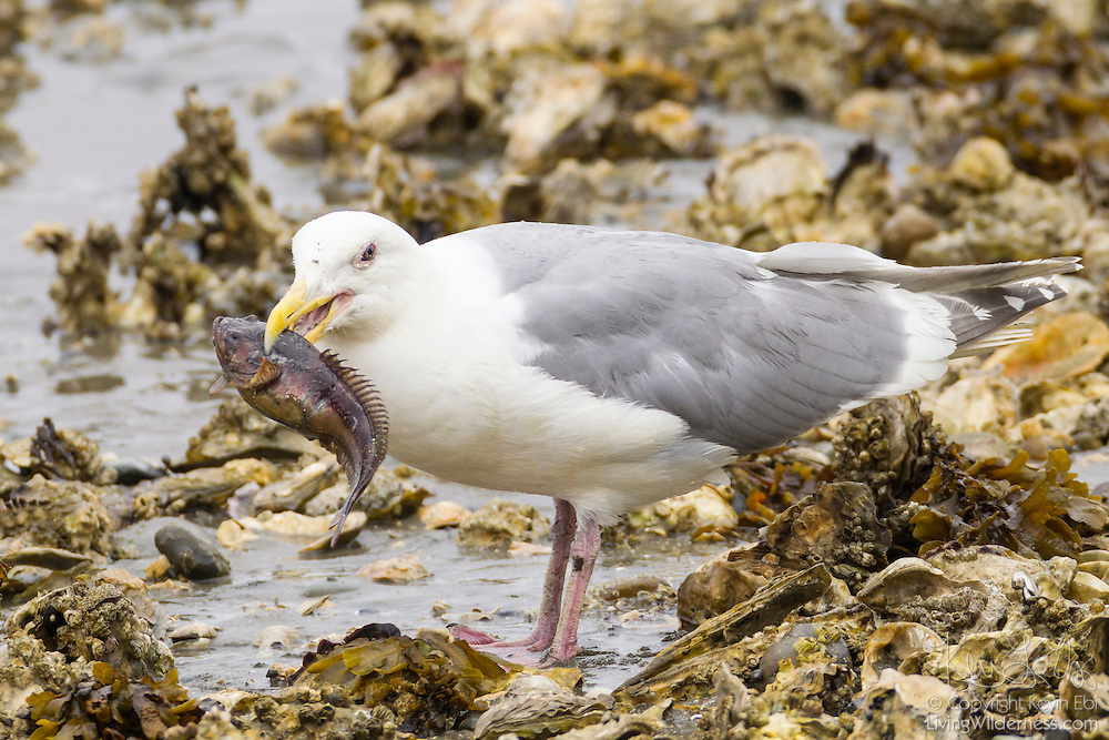 A glaucous-winged gull (Larus glaucescens) displaying its breeding plumage feeds on a midshipman fish that it caught in the Hood Canal near Seabeck, Washington.