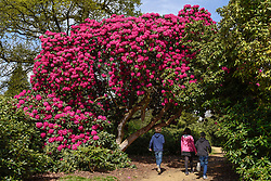 © Licensed to London News Pictures. 11/04/2017. Wexham, UK.  Children play amongst the rhododendrons which have started to flower in the Temple Gardens of Langley Park, Buckinghamshire.  A former royal hunting ground, Langley Park has links to King Henry VIII, Queen Elizabeth I and Queen Victoria.  Each year, the masses of flowers bloom from March to June. Photo credit : Stephen Chung/LNP