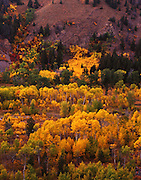 Idaho, Ketchum/Sun Valley; Aspens along Trail Creek.