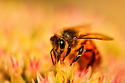 A European (Western) honey bee (Apis mellifera) gathers pollen from stonecrop blooms