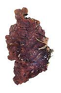 tripe fungus<br /> Auricularia mesenterica