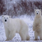 Polar Bear, (Ursus maritimus)  Mother and cub. Cub standing upright to check perceived danger of approaching bear. Cape Churchill, Manitoba. Canada.