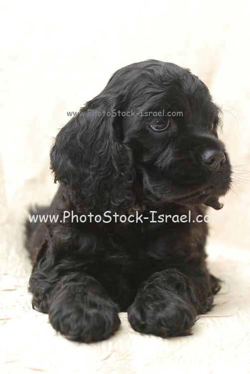 seven weeks old black American Cocker Spaniel puppy
