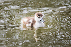 © Licensed to London News Pictures. 28/02/2017. London, UK. A newborn goose chick paddles in the lake in St James's Park London, an early sign of Spring. Photo credit: Rob Pinney/LNP