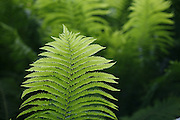 SHOT 5/21/2007 and 5/22/2007 - Images of an Ostrich Fern at the VanDusen Botanical Gardens in Vancouver, British Columbia Canada. This spectacular 22-hectare (55-acre) garden in the heart of Vancouver has matured into a botanical garden of international stature since opening to the public in 1975. The mild Vancouver climate allows the cultivation of an outstanding plant collection which is spectacular any time of the year. VanDusen boasts over 255,000 plants representing more than 7,300 taxa from around the world. Our plant collections represent ecosystems that range from tropical South Africa, to the Himalayas, to the Canadian Arctic, as well as plants native to our own Pacific Northwest..(Photo by Marc Piscotty © 2007)