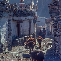 Cattle wander the streets in Muktinath, Nepal.