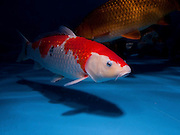 "Red and white Gosanke variety Koi (Japanese: literally ""brocaded carp""), are ornamental domesticated varieties of the common carp (Cyprinus carpio) that are kept for decorative purposes in outdoor koi ponds or water gardens. Koi are among the longest-living vertebrates, with some animals living over 200 years. Koi varieties are distinguished by colour, patterns, and scales. The most popular category of koi is the Gosanke, which is made up of the Kohaku, Taisho Sanshoku, and Showa Sanshoku varieties.Photographed at the handpick pools at Kibbutz Maagan Michael aquaculture breeding farm, Israel"