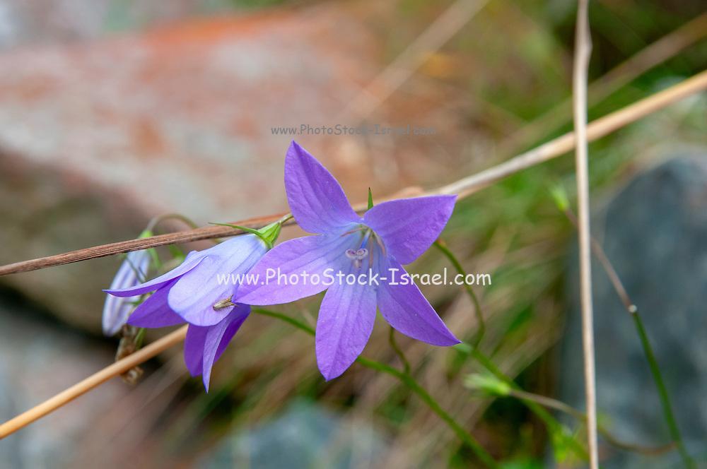 Purple alpine flowers, close up. Photographed in Stubaital, Tyrol, Austria in September