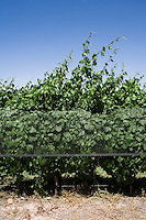 Malbec grapevines are covered with a protective plastic to reduce damage from hail and other inclement weather at Bodega Melipal in the Luján de Cuyo area of Mendoza, Argentina.