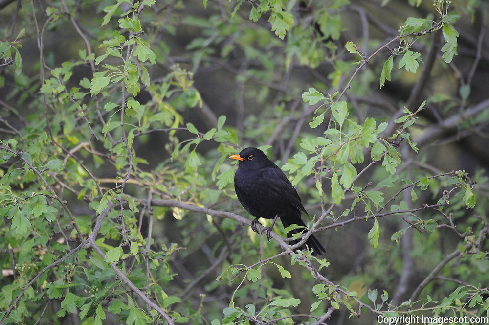 Blackbird<br /> *ADD TO CART FOR LICENSING OPTIONS*