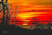 Roseate Tern Sunset