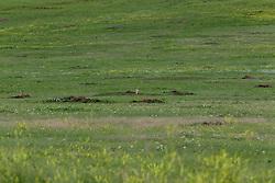 Prairie Dog or Cynomys