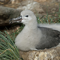 A fledgling Black-Browed Albatrosse sits in its nest in a rookery called the Devil's Nose on West Point Island in Britain's Falkland Islands.