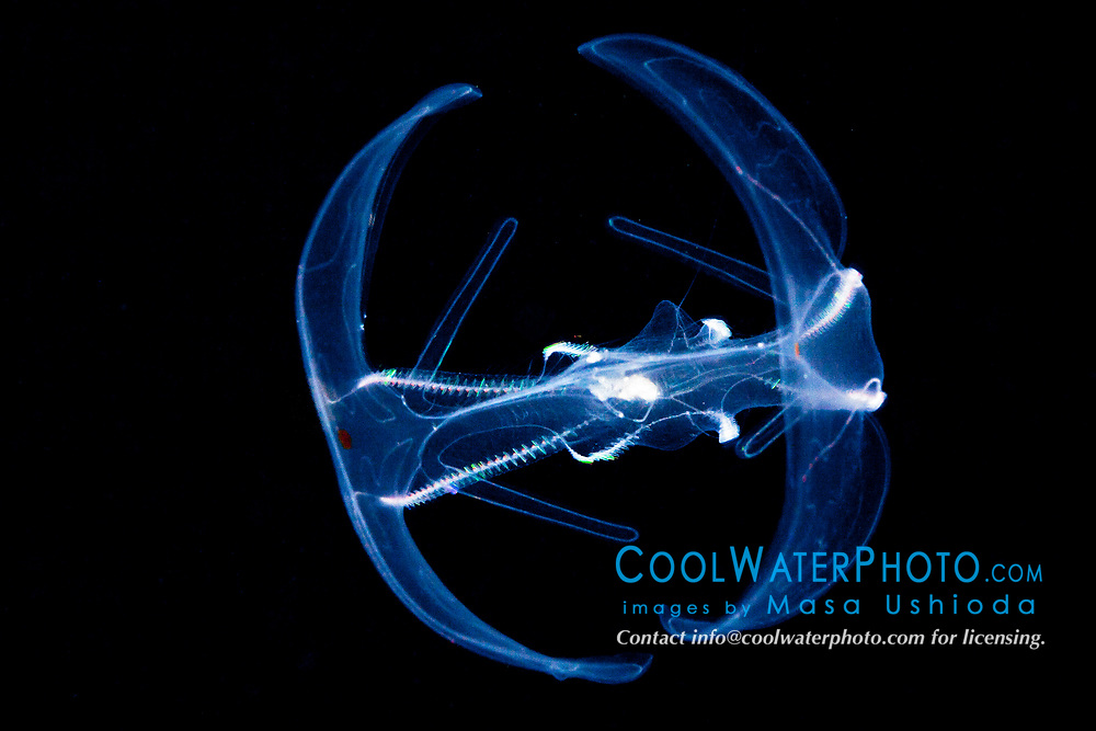 lobate comb jelly, Bolinopsis infundibulum, Family Bolinopsidae, Order Lobata, a bioluminescent ctenophore, at night, offshore, Kona Coast, Big Island, Hawaii, USA, Pacific Ocean