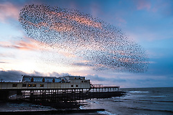 Licensed to London News Pictures. 10/02/2019. Aberystwyth,UK.At sunset on a windy evening as Storm Erik finally blows itself out, huge flocks of tens  of thousands of  starlings (known as  'adar yr eira' - 'snow birds' in the welsh language)  perform their spectacular 'murmurations' in the sky as they return from their daily feeding grounds to roost for the night on the forest  of cast iron legs underneath  Aberystwyth's Victorian seaside pier. The west coast town  is one of the few urban roosts in the country and draws people from all over the UK to witness the spectacular nightly displays between October and March.<br />