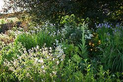 Geranium pratense at Glebe Cottage