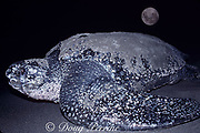 leatherback sea turtle, Dermochelys coriacea, Critically Endangered Species, female, comes ashore at full moon to lay eggs on beach, Mexiquillo Beach, Mexico ( Eastern Pacific Ocean )