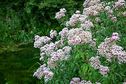 Hemp Agrimony growing wild by a canal bank in the Stroud valley. Eupatorium cannabinum