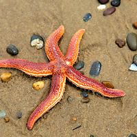 Europe, Ireland, Brittas Bay. Irish Sea Star on beach.