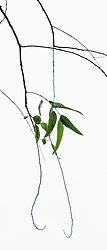Eucalyptus camaldulensis #5