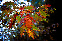 A branch of oak leaves in vibrant Fall colors.