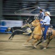 Two cowboys chase down a calf during the roping finals of the Jackson Hole Rodeo, Jackson, Wyoming.