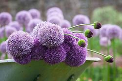 Alliums 'Beau Regard' AGM, 'Lucy Ball' and 'Forelock' in a wheelbarrow