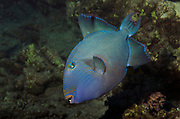 Blue triggerfish, Pseudobalistes fuscus, on coral reef in Red Sea at Marsa Alam, Egypt