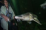 Spectators enjoying the Russian sturgeon (Acipenser gueldenstaedtii) in an aquarium in Tulcea. Captive (Image shot in aquarium) in Danube Delta Eco Tourism Museum Center, Tulcea, Romania.<br /> Also known as the diamond sturgeon or Danube sturgeon. Russian sturgeon reproduce slowly, making them highly vulnerable to fishing. 2006 IUCN Red List of Threatened Species.