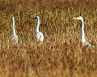 Great Egret (Ardea alba). Bitter Lake National Wildlife Refuge. Roswell, New Mexico. Image taken with a Nikon D4 camera and 300 mm f/2.8 VR lens with a 2.0x TC-E teleconverter.