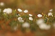Field Bindweed (Convolvulus arvensis) Photographed in Israel in August