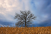 Tree, corn crop and storm clouds<br />Foresters Falls<br />Ontario<br />Canada