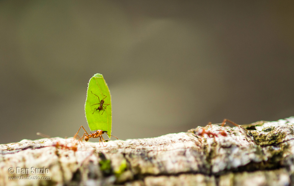 Leafcutter Ant, Atta cephalotes, carries a piece of leaf to its nest while another ant rides along. Tortuguero National Park, Costa Rica