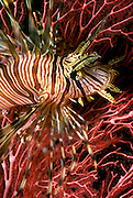 UNDERWATER MARINE LIFE WEST PACIFIC, Fiji Islands FISH: lionfish (turkeyfish or decorated cod) Pterois volitans