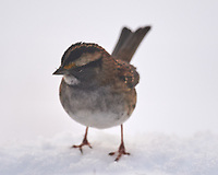 White-throated Sparrow (Zonotrichia albicollis). Image taken with a Nikon D5 camera and 600 mm f/4 VR telephoto lens.