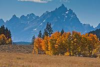 Golden aspen trees reflect the autumn season.  Grand Teton National Park, Wyoming, USA.