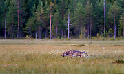 Grey Wolf (Canis lupus lupus). Finland, August 2015.