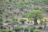 Baobab savannah, Tarangire NP, Tanzania