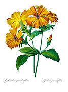 19th-century hand painted Engraving illustration of an Orange Robin (Lychnis coronata) [as Lychnis grandiflora] flower, by Pierre-Joseph Redoute. Published in Choix Des Plus Belles Fleurs, Paris (1827). by Redouté, Pierre Joseph, 1759-1840.; Chapuis, Jean Baptiste.; Ernest Panckoucke.; Langois, Dr.; Bessin, R.; Victor, fl. ca. 1820-1850.