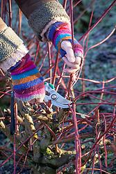 Cutting back cornus stems to encourage new brightly coloured growth