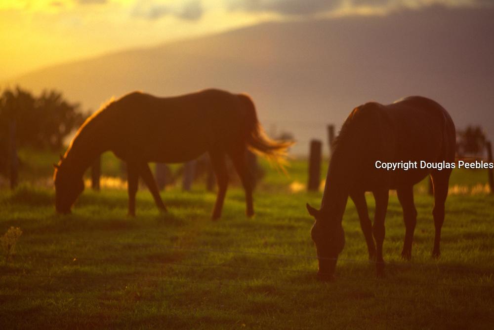 Horses grazing, Upcountry, Kula, Maui, Hawaii<br />