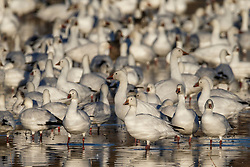 Snow geese flock in pond, Bosque del Apache, National Wildlife Refuge, New Mexico, USA.