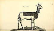 Nanguer from General zoology, or, Systematic natural history Vol II Part 2 Mammalia, by Shaw, George, 1751-1813; Stephens, James Francis, 1792-1853; Heath, Charles, 1785-1848, engraver; Griffith, Mrs., engraver; Chappelow. Copperplate Printed in London in 1801 by G. Kearsley