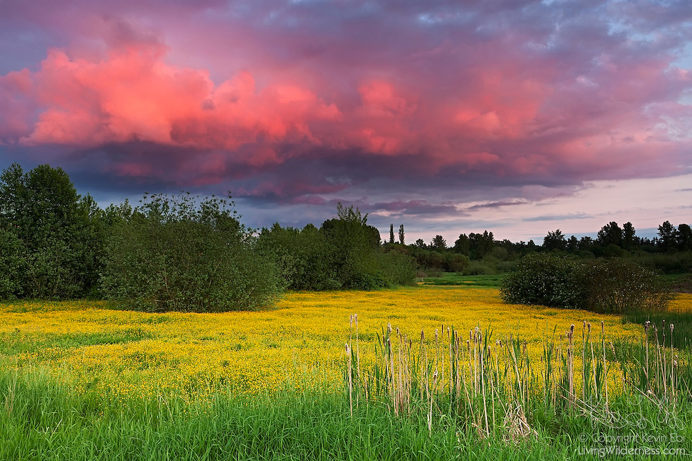 Western buttercup (Ranunculus occidentalis) covers a meadow in Bothell, Washington.